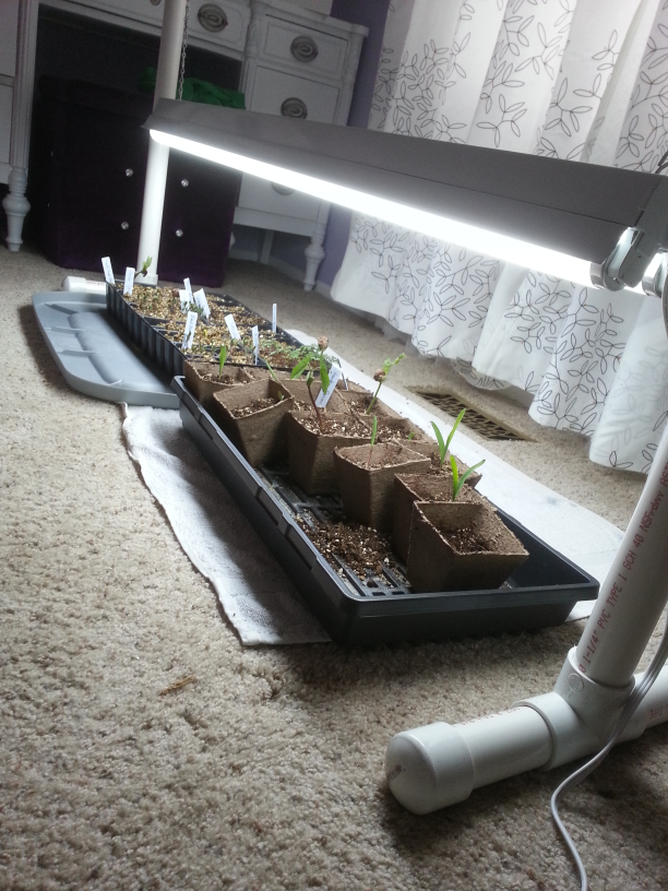 Chrissy's seedlings enjoying their new light stand